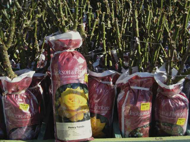 Jackson & Perkins premium-grade roses are available bare root in bags.
