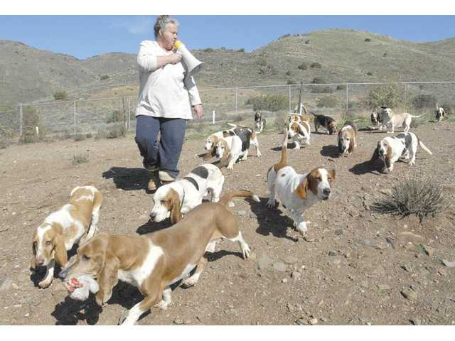 "Dawn Smith sings ""Hi Ho, Hi Ho"" with a few of the 96 basset hounds at Smith's Basset Rescue Network ranch in Acton."