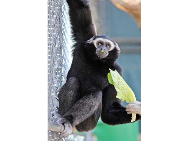 Birute, who lives at the gibbon center, eats a snack on Monday.