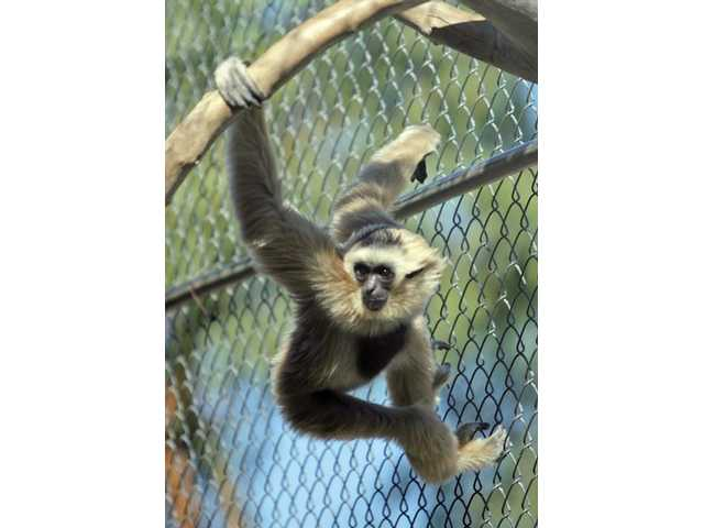 Makiko gets ready to swing around her cage at the Gibbon Conservation Center on Monday.