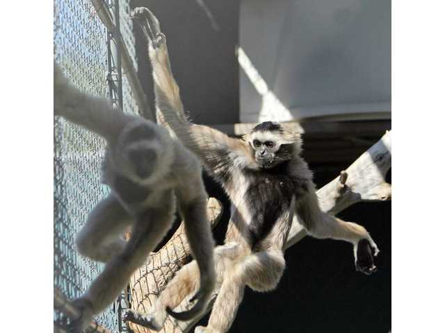 Jitka chases her younger sister Makiko around their cage at the Gibbon Conservation Center on Monday afternoon.