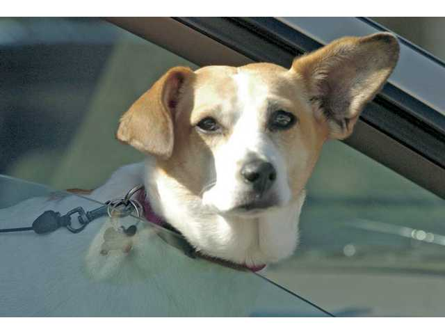 Waffles, a beagle-Jack Russell terrier mix, rides shotgun down Valencia Boulevard on a recent sunny afternoon.