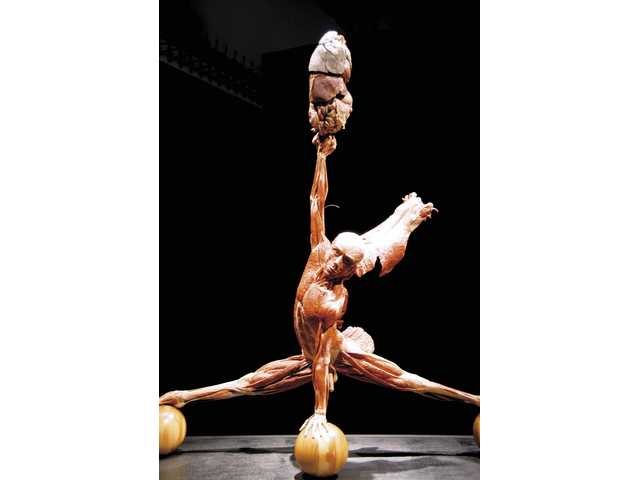 The Gymnast (male).