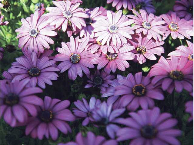 Purple daisies at the Castaic Lake Water Agency Conservancy Garden and Learning Center in Saugus on Thursday.