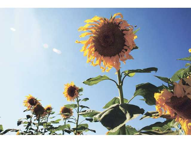 Sunflowers at the Castaic Lake Water Agency Conservancy Garden and Learning Center in Saugus on Thursday.