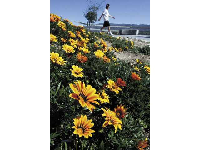 Big and bold gazanias are in bloom this week at Canyon Country Park as spring has arrived. Today marks the equinox, in ancient cultures often considered the arrival of spring. On modern calendars, Thursday officially was the first day of spring.