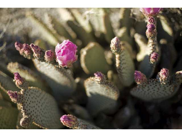 Even the many prickly cacti of the Anza Borrego have their softer side, with pink flowers capping their thorny leaves.