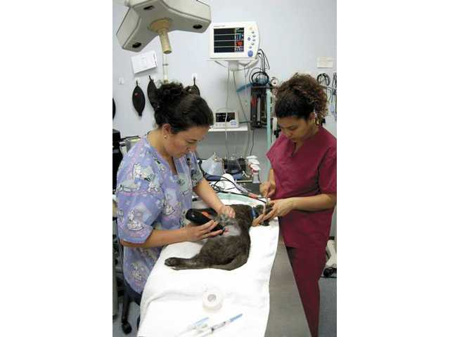 Susie Montes, left, and Nancy Vallejo, veterinary technicians at the Animal Medical Center in Valencia, prepare a cat named Clover for surgery. Here Montes is shaving Clover's fur.