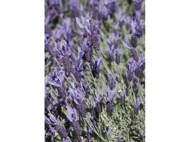 Drought-resistant Spanish lavender.