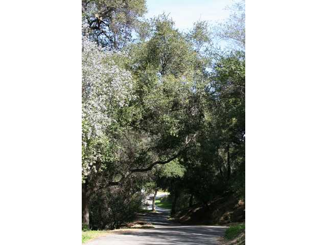 A few miles up Wildwood Canyon, oaks create a canopy over the single-lane road.