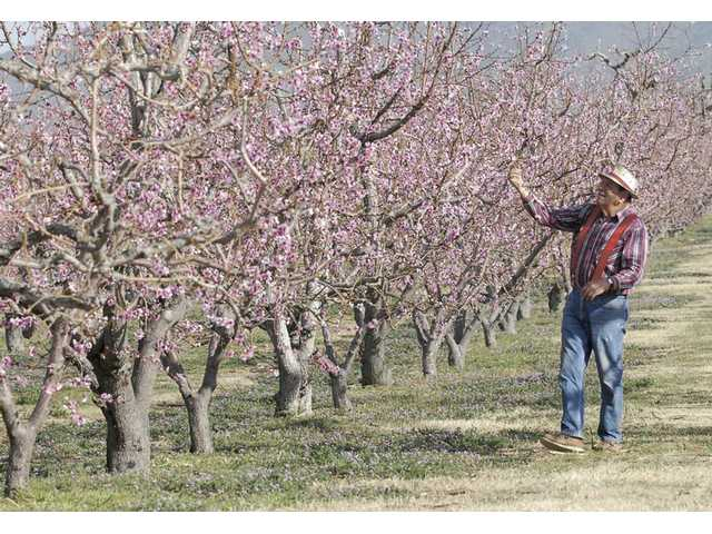 Ray Billet walks along a line of some of the 5,500 peach and 1,000 pear trees on the 60 planted acres at the Blum Ranch in Acton.