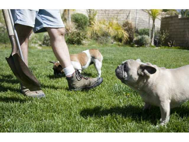 Two pugs follow Timothy Stone as he cleans up after them Tuesday morning. Today marks the beginning of International Pooper Scooper Week, which was started by the Association of Professional Animal Waste Specialists (aPaws) a group founded in the Santa Clarita Valley.