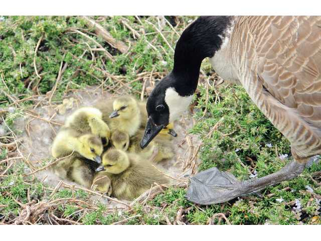 A parent Canada goose looks down at a nest of its seven goslings, discovered on Sunday morning by the Martin family. The Martins, who live in Bridgeport near the lighthouse, see the same two geese return annually to hatch their new young. The geese often cross Newhall Ranch Road, posing a threat to motorists.