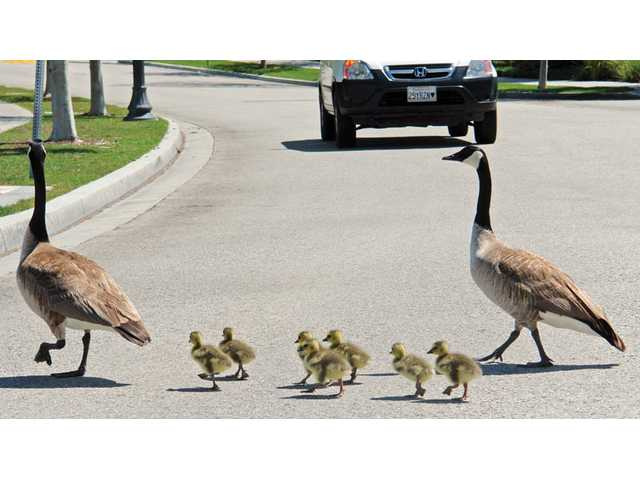 A driver waits for two geese to escort their goslings across Bridgeport Lane in Valencia on Monday. Jim Martin, who lives near the Bridgeport lighthouse, helped halt traffic so the feathered family could migrate safely across the street.
