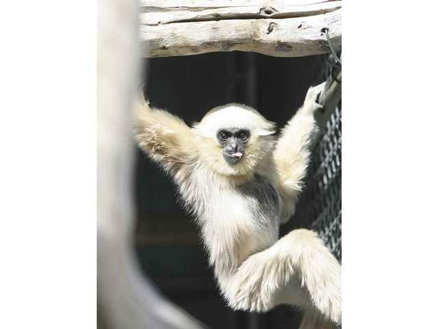 Jitke, a pileated gibbon at the Gibbons Conservation Center in the Santa Clarita Valley, pauses while swinging in his enclosure. The center's 32nd annual breakfast with the gibbons fundraiser is planned for Saturday.