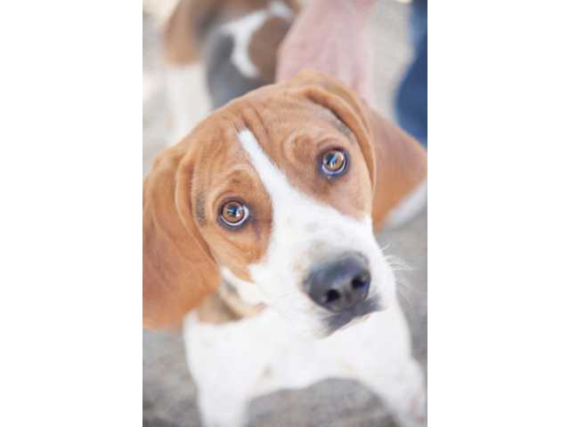 Bandit, a 1-year old coonhound, longs for a family with a big yard and lots of energy.