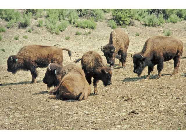 Where the buffalo roam: Hart Park