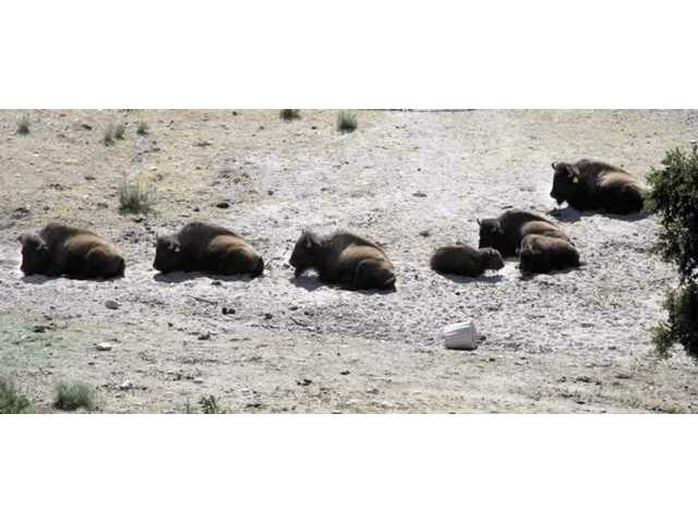 A group of bison at William S. Hart Park rest in the afternoon sun on Wednesday. Earlier in the day, a one-year-old bison died after coming out of an anesthetic sleep following an operation.