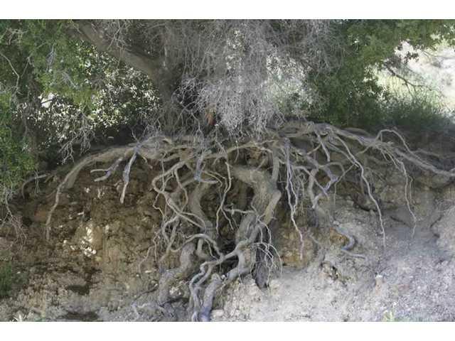 Erosion creates unsafe tree