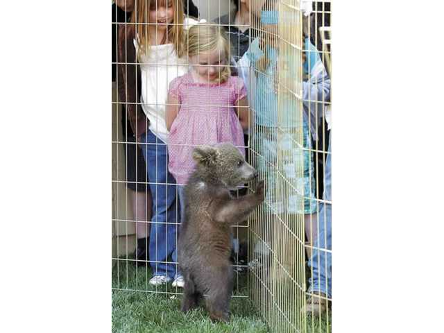 Cassidy Mellott, 5, watches a Amos the bear cub play on Sunday at the Wildlife Show in Sand Canyon. Amos is a 14-week-old Russian brown bear, who may grow as large as 700 pounds. Other animals who were presented at the Wildlife Show included a mountain lion and a bobcat.