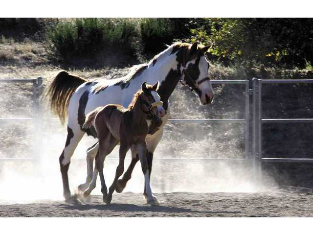 Hope and her foal Faith kick up some dust in their corral at Dave Spencer's Sand Canyon home.