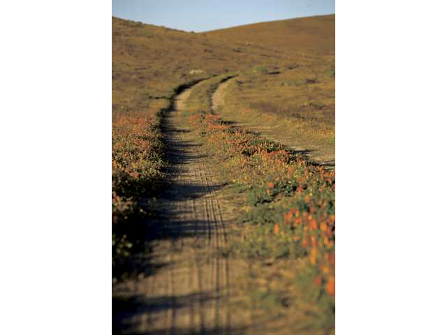 Poppies at the Antelope Valley California Poppy Reserve.