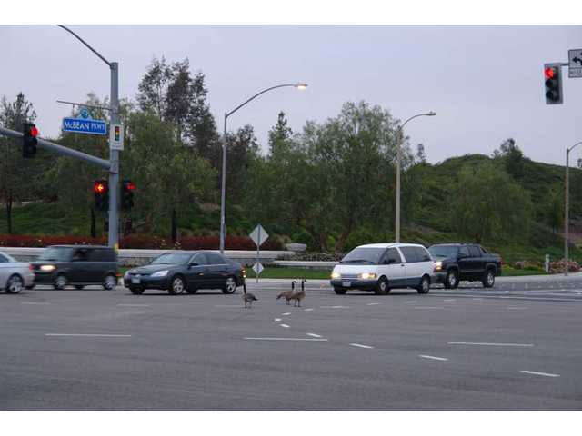 Three of six geese stand in the middle of the Newhall Ranch Road and McBean Parkway intersection on Saturday, April 24 at 6:30 a.m.