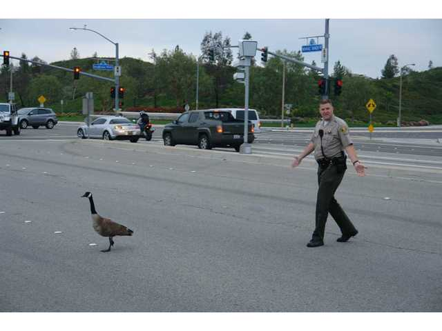 Deputy Petersen of the Santa Clarita Valley Sheriff's Department escorts a Canada Goose across Newhall Ranch Road on Saturday morning.