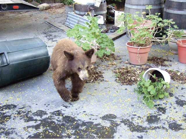 A cub knocks over a garbage container and a potted plant in a Monrovia home. There have been three recent sightings of bears in the Santa Clarita Valley including Thursday's death of a bear on Interstate 5.