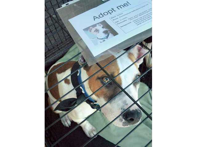 Jackson, a 6-month-old boxer-terrier mix, watches people pass, as he waits for adoption at the Foreverhome Pet Rescue booth at the second annual Santa Clarita Valley Pet & Family Expo held in the COC's parking lot on Saturday.