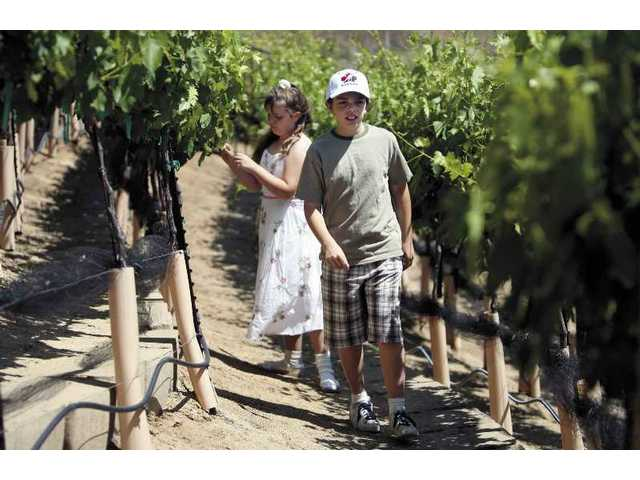 Adeline and Kurt Kraut inspect their grapes for ripeness. In past years the family's vines were jeopardized by a variety of wild animals, including birds, raccoons and coyotes. As the Krauts have gained experience in grape-growing, their harvests have improved.