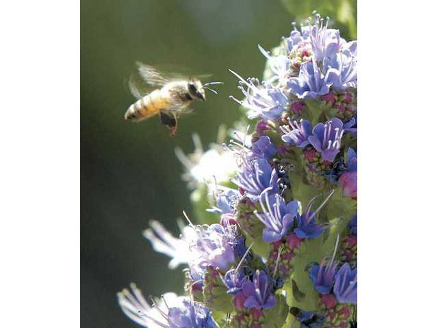 A bee buzzes around the blooms of Pride of Madera plant.