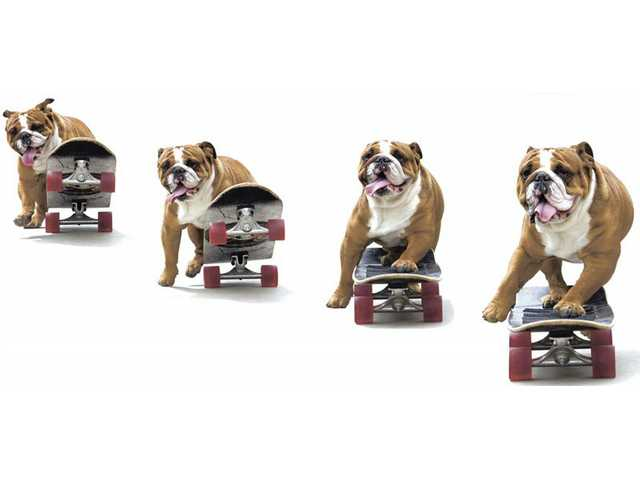 Tank, the 2-year-old English Bulldog of James Green, is a fixture at Green Landscape Nursery in Saugus. Tank likes to skateboard and perform other tricks for customers.