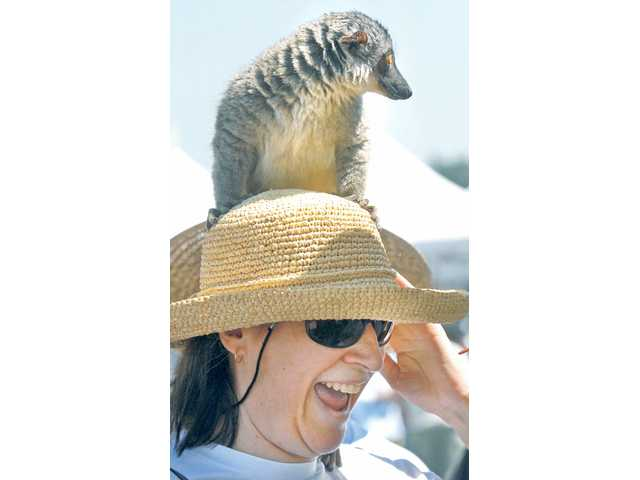 Susan Consolo of Saugus is surprised as Ninja, a 5-year-old meerkat from Steve Martin's Wildlife, jumps on her hat at the Pet Expo in the College of the Canyons parking lot Saturday.