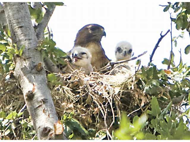 An adult hawk watches over its two babies up on a tree located in the Friendly Valley real estates. Resident Beverly Fox believes the hawks have made their home near hers for about two weeks now.