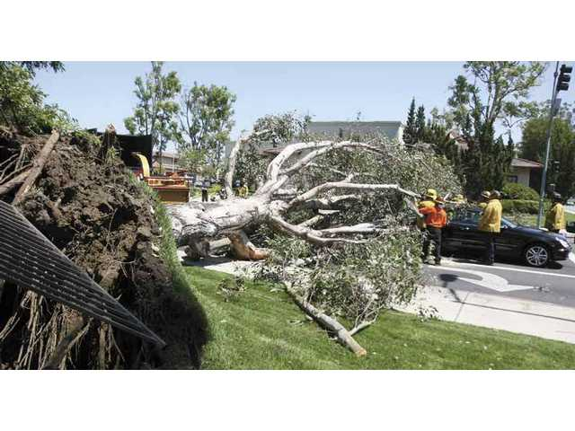 A 60-foot eucalyptus tree collapsed onto Arroyo Park Lane at McBean Parkway just after 2 Wednesday afternoon. One car was buried by the collapsed tree, while another car was struck on its rear window and trunk.