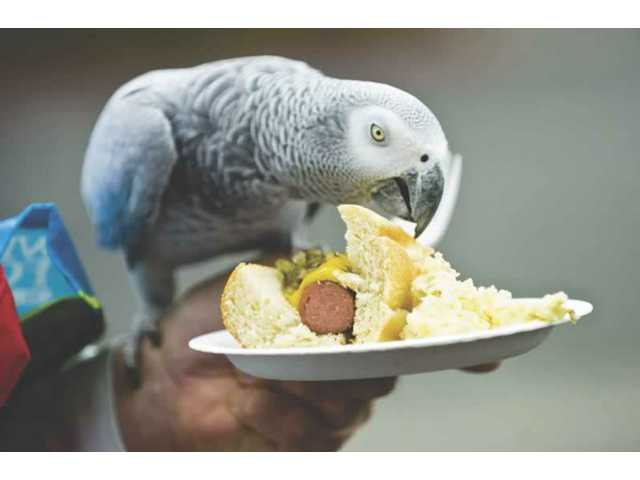 Simba, an African Grey Parrot, eats some of John Ragsdale's hot dog at Valencia Whole Foods' Red, White, and Blue Barbecue.