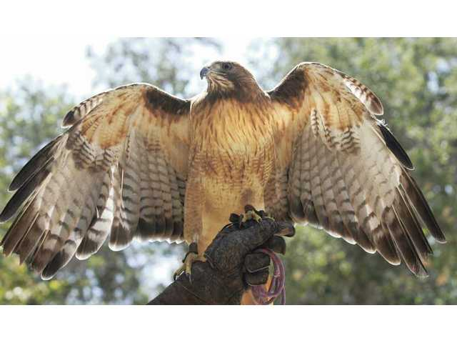 Kia, a 9-year-old red-tailed hawk displays her wings at the Placerita Nature Center.