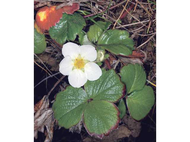 Wild strawberry is a low growing plant you can plant next to your home to provide attractive fire-resistant ground cover. Wild strawberry has the rare distinction of being approved by LA County fire for any zone in your yard.