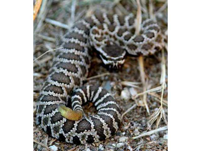 A baby Southern Pacific rattlesnake coils in the Santa Clarita Valley.