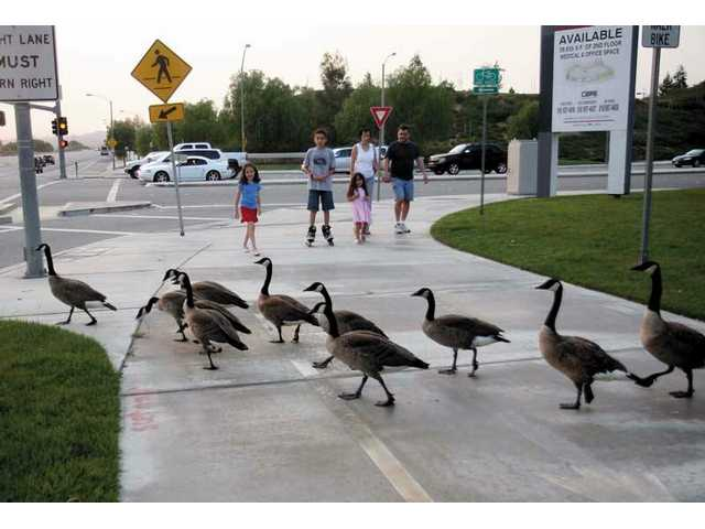 A flock of Canadian geese, and a few ducks, waddle across the 10-lane Newhall Ranch Road at McBean Parkway a few times a day to get from one lake to another. Neighbors are concerned for the birds' safety.