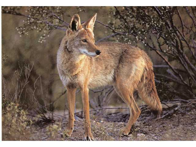 Coyotes, like the one seen here, roam the untamed hills throughout the Santa Clarita Valley. Unattended pets or pet food may draw coyotes into residential areas.