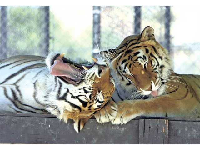 Michael Jackson's tigers Thriller and Sabu live at the Roar Foundation's Shambala Preserve in Acton.