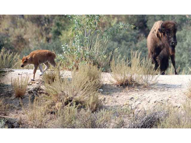 A newborn calf walks the hills of William S. Hart Park, Saturday morning with its mother. The baby bison, born between Friday night and early Saturday morning, is the sixth bison born at the park since May 2007.