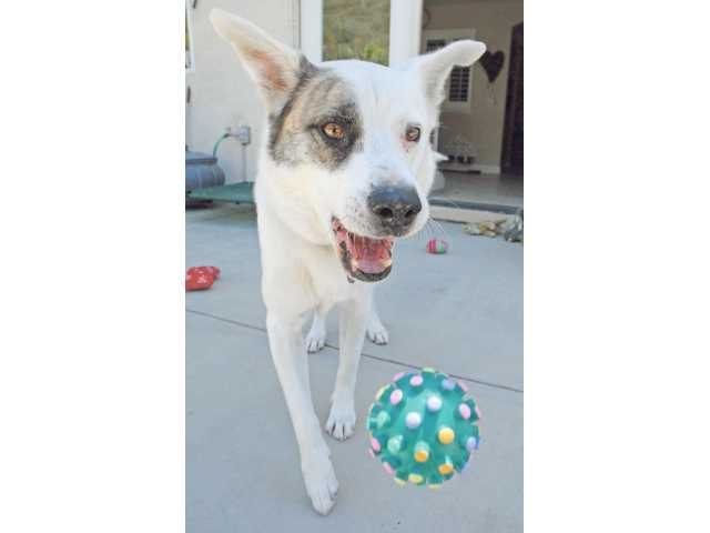 Patches bounces a ball in his backyard after being lost in the hills of Canyon Country for three days. He was frightened by fireworks on Fourth of July weekend and escaping from his backyard.