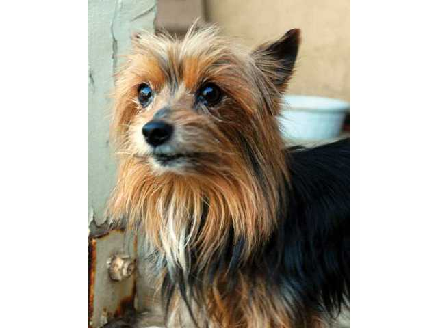FRANKIE, a 10-year-old male Yorkie, is a little hustler who acts like a teenager. Of course, isn't that just like a Yorkie? Frankie needs a loving home, where he can be your very best friend and watch out for you.