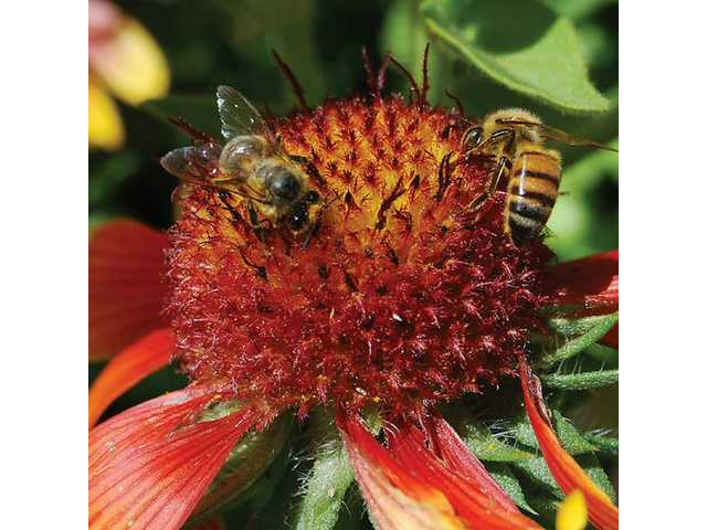 European Honey bees help pollinate flowers.