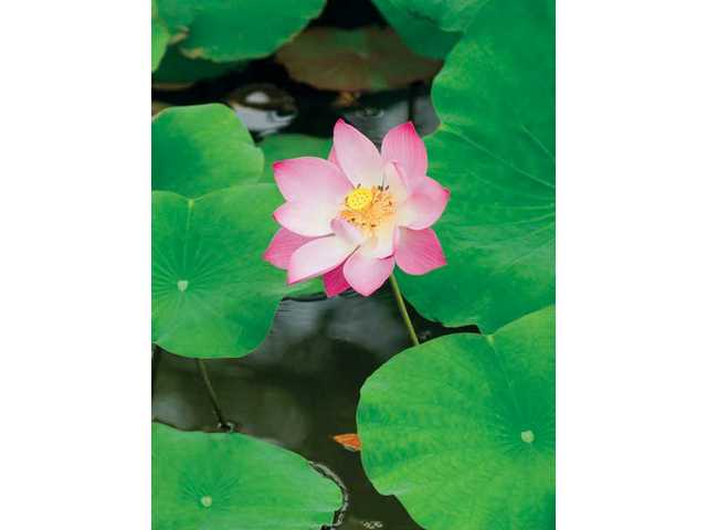 Water lilies are popular water garden plants.