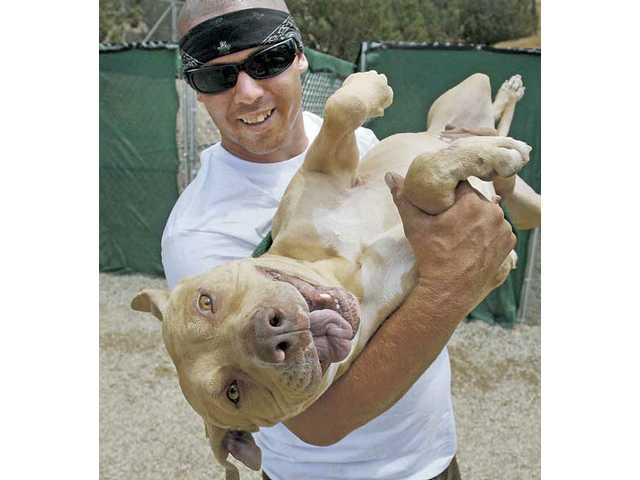 Dog caretaker Steve Bruce plays with Tequila, a 4-year-old pit bull that was confiscated as evidence in a dogfighting raid and rescued by Villalobos Rescue Center in Acton.