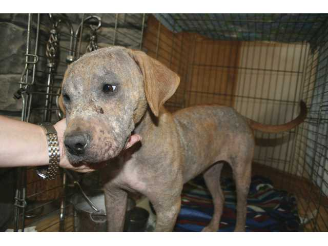 Maggie Mae, a sixth-month-old Labrador mix found wandering with mange, is undergoing treatment and doing well, officials at New Leash on Life report.